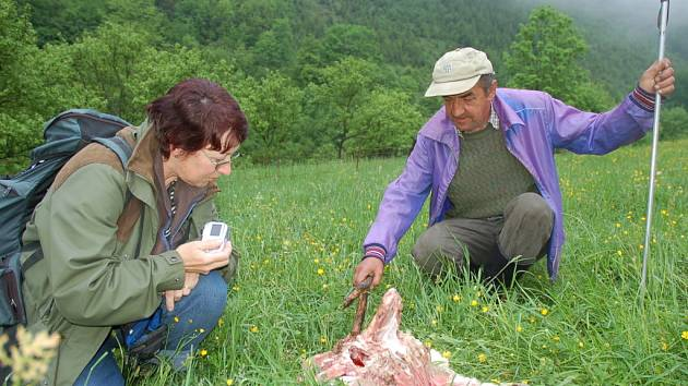 Zooložka Dana Bartošová (vlevo) podle typických znaků potvrdila útok vlčí smečky, chovatel František Pončík by se měl dočkat finanční kompenzace.