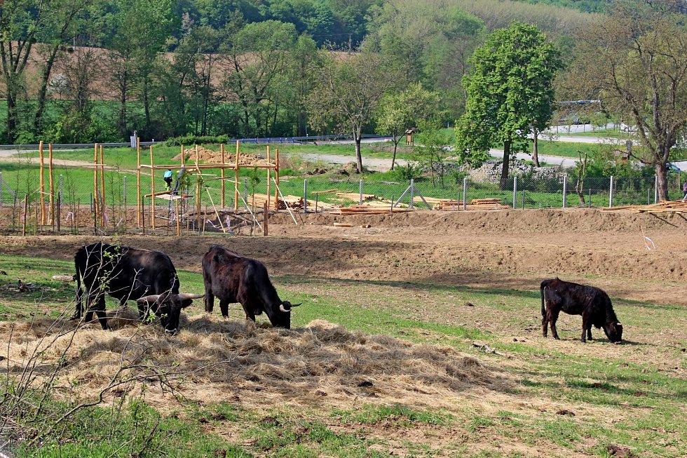 DALŚÍ ATRAKCE. V hektarové obůrce na Modré se rozkoukávají vyšlechtění pratuři.
