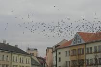 Četné populace holubů pravidelně posedávají i na členitých fasádách domů i střechách budov v centru Uherského Hradiště. Boj s nimi je velmi obtížný.