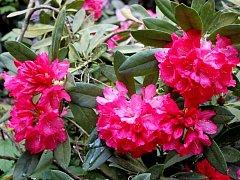 Návštěvníci osmnácti hektarové zámecké zahrady v Buchlovicích mohou obdivovat barevnou škálu kvetoucích rododendronů a azalek.