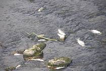 V Uherském Brodě uhynulo velké množství ryb