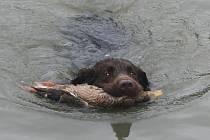 Kačena divoká.... spadla do rybníka a ohař s ní musel doplavat ke svému vůdci.