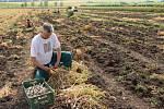 Česnek ze dvou hektarů v dolněmčanské lokalitě Dílec sklidili za tři dny.