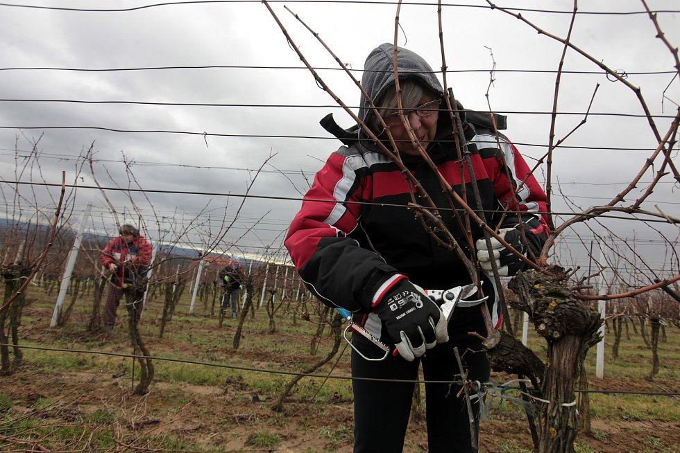 Ořez vinné révy ve vinohradech Vinařství Vaďura v okolí Polešovic.