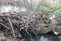 V korytě potoka Okluky mezi Hlukem a Dolním Němčí dal svou činností o sobě vědět bobr.