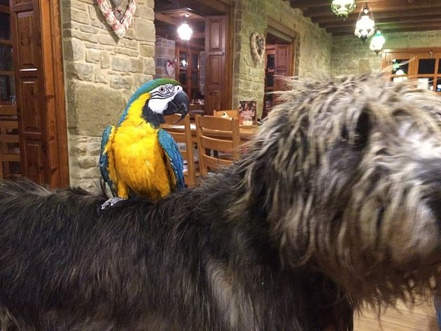 Žlutomodrý papoušek Pedro, který řadu let patří k symbolům Holubyho chaty, byl ukraden.