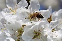 Nebude to tak dlouho trvat a včelky budou na květech třešní sbírat nektar.