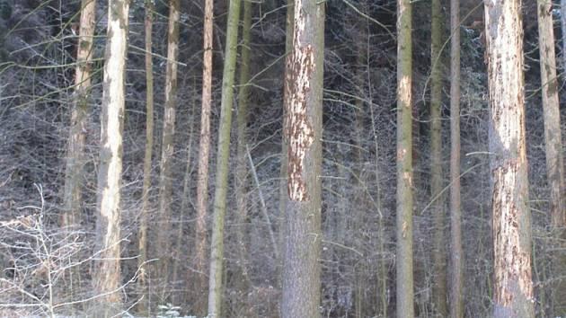 Kůrovec způsobuje každoročně škody v řádech miliard korun, přesto je ekologickými aktivisty považován za přirozenou součást přírody.