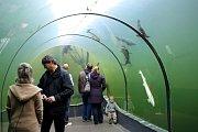 Na Štěpána se mohou návštěvníci pokochat laskání potápěče s rybami.