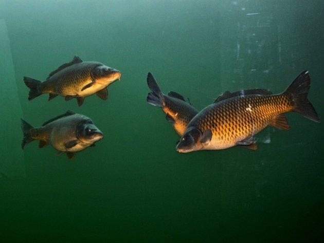 Po Kapří stezce za poznáním nejznámější české ryby