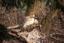 Aktivitu bobrů nebylo možné přehlédnout ani ve Staroměstské lokalitě u chovného rybníku Olší.