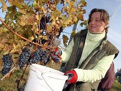 Vinobraní ve vinařství Agro Zlechov.