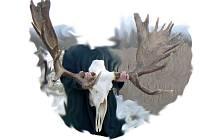 Parohy losa kamčatského. Ilustrační foto.