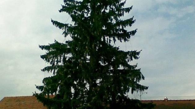 Záměr na kácení tří vzrostlých stromů musí posvětit zastupitelstvo.