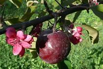 Kvetoucí jabloň v Kostelanech, 18. září.