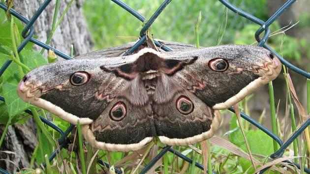 Martináč hrušňový, největší motýl, který se vyskytuje v České republice, ale i v Evropě.