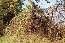 Dříve tu rostla vinná réva, nyní vinohrady připomínakjí spíše prales.