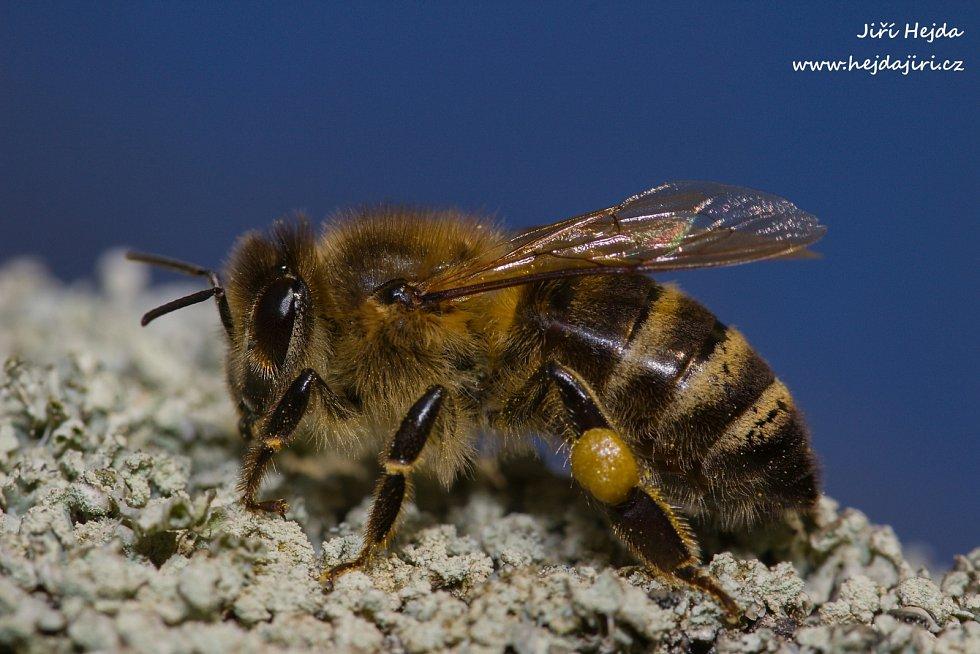 Včela medonosná, Zlechov, 2.4.2020