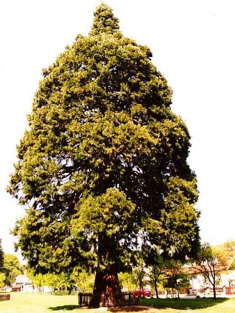 Sekvojovec obrovský z Břestku-Chabaní.
