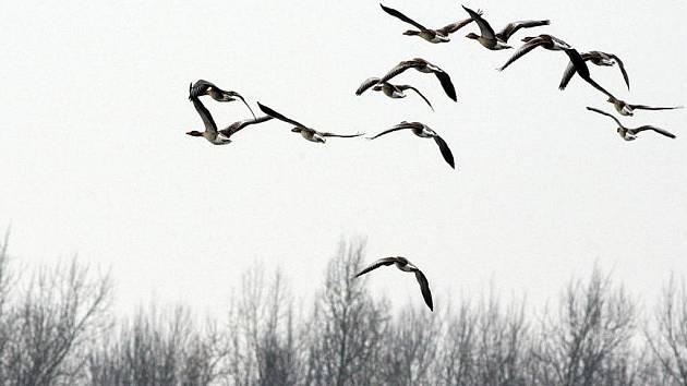 Na jezerech u Ostrožské Nové Vsi zimují tisíce vodních ptáků.