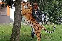 Tygřice Tajga se v úterý 24. srpna procházela spolu s principálem cirkusu Jo-Joo Jaromírem Joo po přechodu naproti uherskohradišťské sportovní haly.