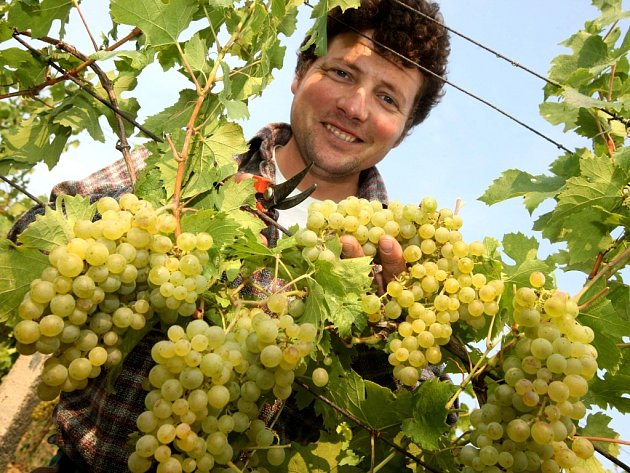 Vinohrad v Polešovicích. Ilustrační foto.