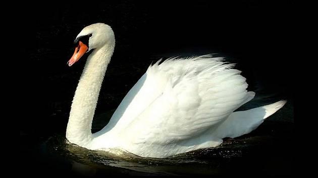 Labutě jsou nevídanými škůdci vporostech řepky. Ve vodě zatím nenacházejí vhodnou potravu.