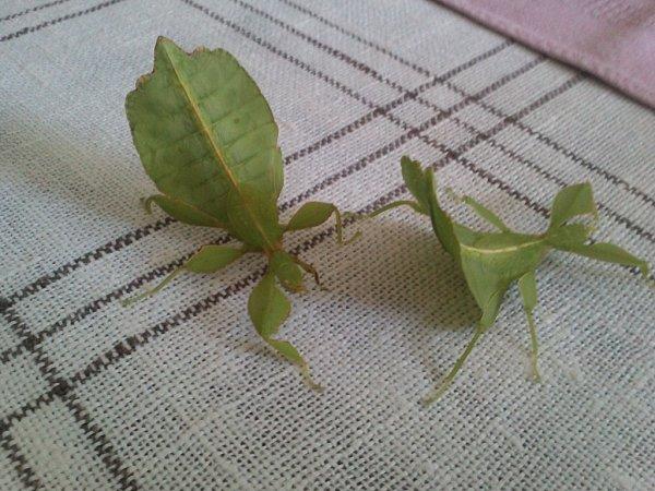 EVELÝNA a HERMÍNA. Strašilky jsou pomalí hmyzáci.