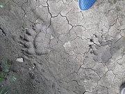 Medvědí stopy v uherskobrodské lokalitě Rubaniska.