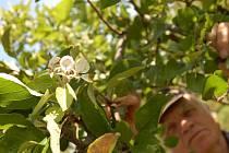 V Pašovicích na Uherskobrodsku kvete v polovině září jabloň.