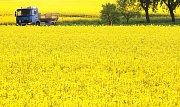 Žluté pole řepky olejky u obce Jalubí.