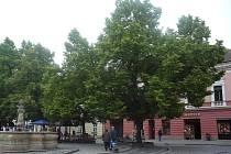 Ohledně plánů na skácení památných lip na hradišťském Masarykově náměstí vede sdružení Chraňme zeleň s tamní radnicí odborný spor