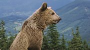 Medvěd hnědý. Ilustrační foto