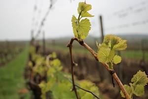 Vinná réva už ve vinohradech raší.