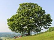 Dub z pitínského kopce Jahodiska bude soutěžit v klání o titul Strom roku 2014. Jeho hodnocení přišlo přihlížet několik příznivců.