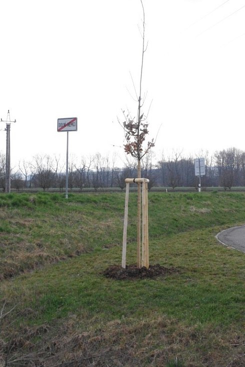 O Zeleném čtvrtku vysadili v blízkosti cyklostezkové křižovatky na Dolní Němčí, Nivnici a Slavkov památný strom.
