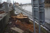 Ze vzrostlých stromů na nábřeží řeky Moravy zbyly jen nevzhledné pařezy