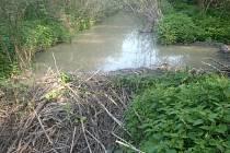 Bobři svými hrázemi narušují stabilitu březolupského rybníku. Odborníci ve spolupráci s krajskými úředníky proto schválili výjimku, která umožní odchyt bobrů.