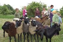 Trávu na Rochusu už spásají ovce.