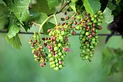 Bouřka a krupobití zasáhlo úrodu ve vinicích v Polešovicích.Poškozené hrozny odrůdy Hibernal.