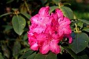 Kvetoucí rododendrony jsou pastvou nejen pro oči, ale i pro fotografy.