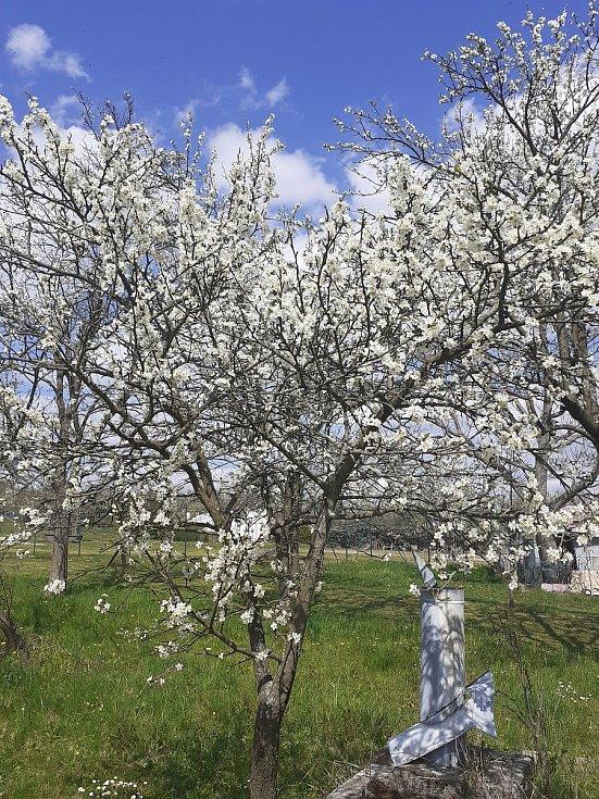Jaro vtrhlo i do vlčnovských búd.