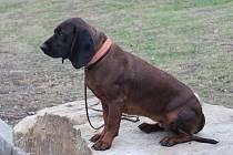 Barvář, specialista mezi loveckými psy k dosledu poraněných kusů spárkaté zvěře.