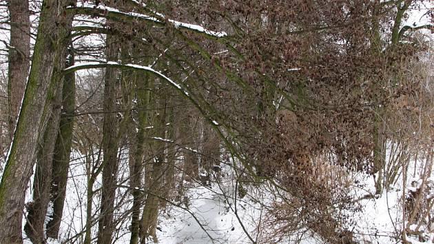 Některé olše nelze vykácet kvůli zpevnění břehů potoka.