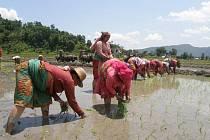 Rýže se jí dvakrát denně po celý rok a bez dobré úrody není Nepálcům zrovna do tance.
