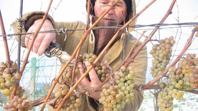 Senátor Josef Vaculík na svém vinohradě.