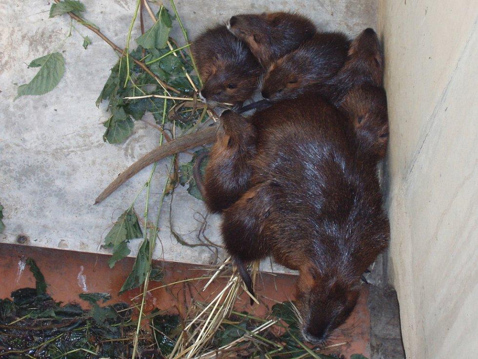 Strážníci zlínské městské policie chytali nutrie poprvé. U Dřevnice se jim podařilo odlovit dvě samice a tři mláďata.