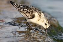 """Kvůli """"nucené zastávce"""" při tahu ptáků lze také na Slovácku spatřit ptáky, jejichž výskyt lze v těchto končinách považovat za unikát. Jedním z takových druhů je například jespák písečný, který běžně hnízdi v Antarktidě a do vnitrozemí zalétá pouze vzácně."""