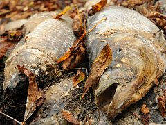 Houbaři našli za Modoru v lese mrtvé ryby.