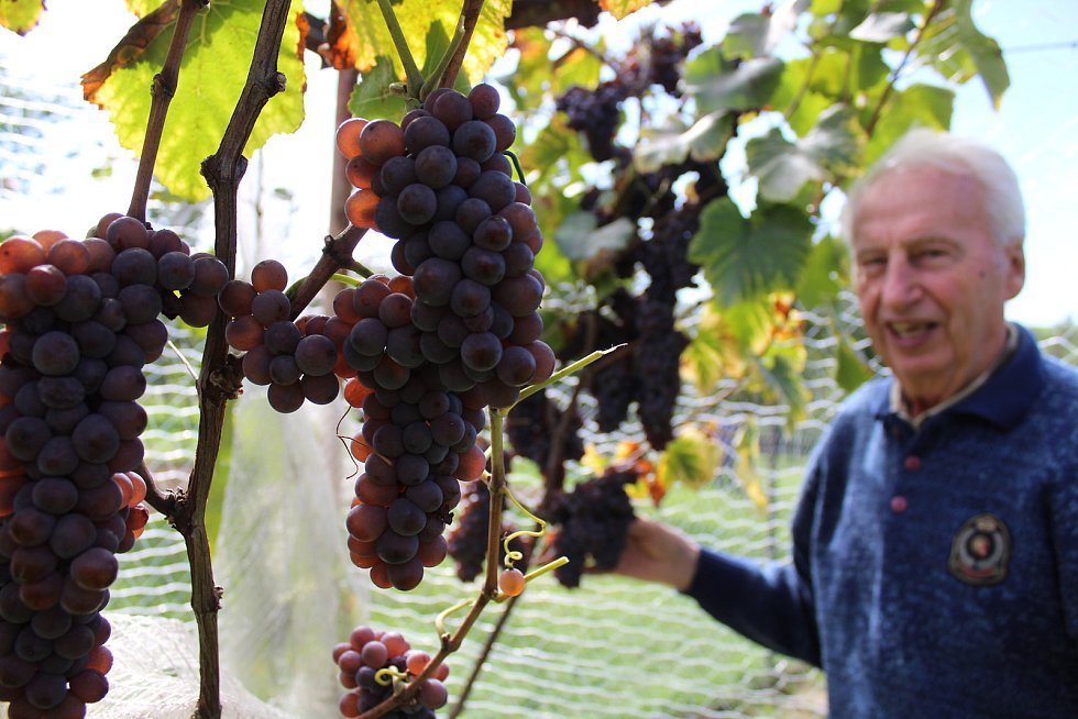 Vinařský odborník František Jakubík ve svém vinohradu prohlíží hrozny s vysokou cukernatostí.